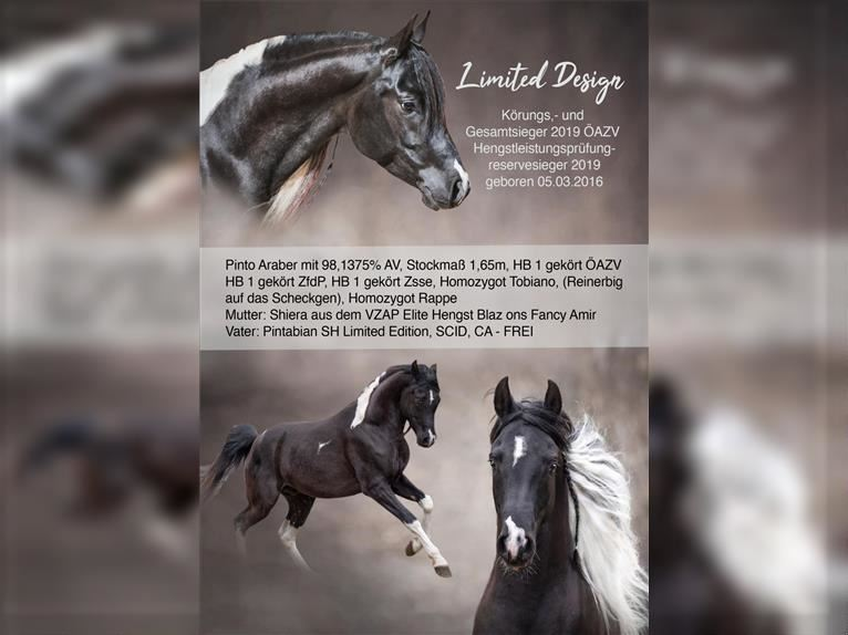 LIMITED DESIGN Arabian Partbred Stallion Tobiano-all-colors