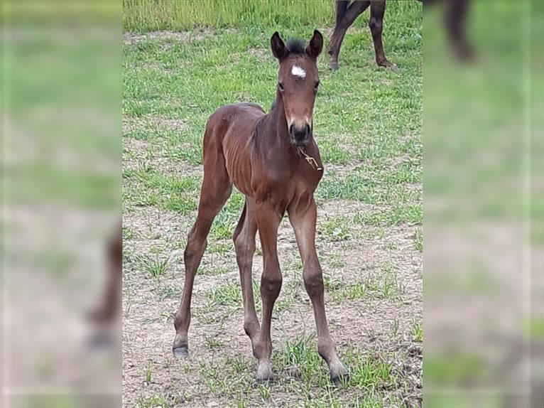 Hanoverian Mare Foal (06/2021) 16,2 hh Brown