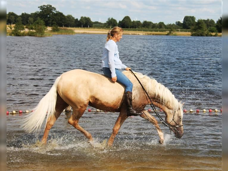 American Quarter Horse Mix Mare 4 years 14,3 hh Palomino