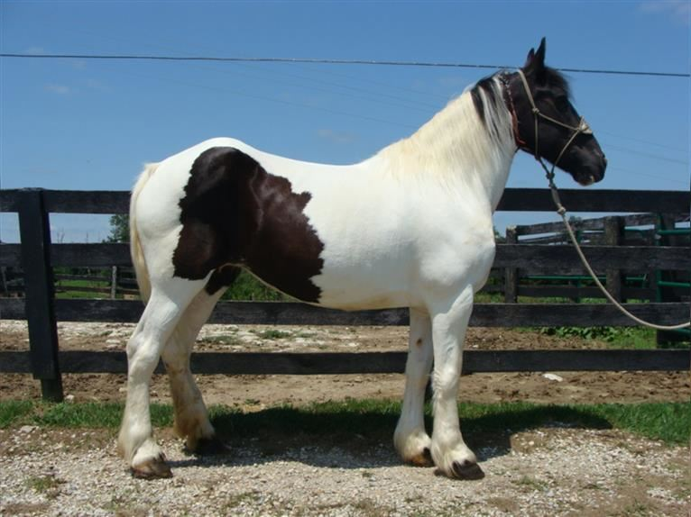 Other Breeds Mare 14 years 16,1 hh Sorrel