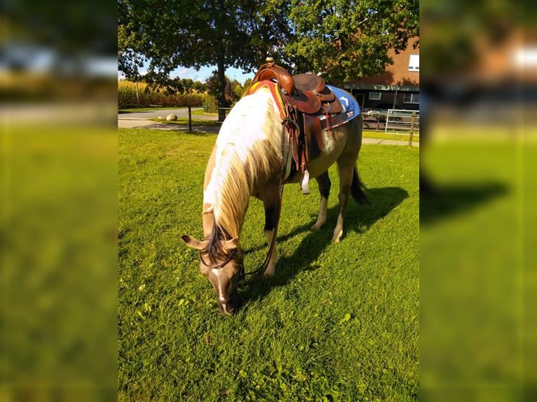 Paint Horse Gelding 9 years 14,2 hh Grullo