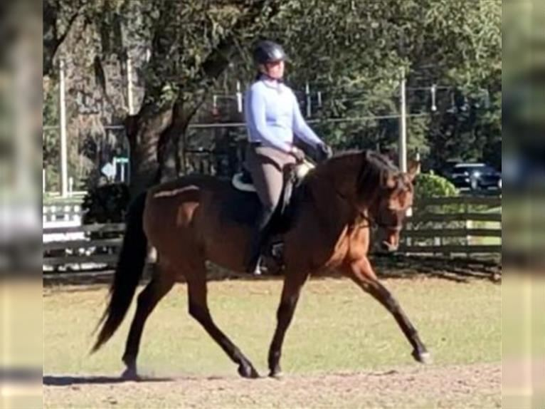 Andalusier Stute 11 Jahre 157 cm