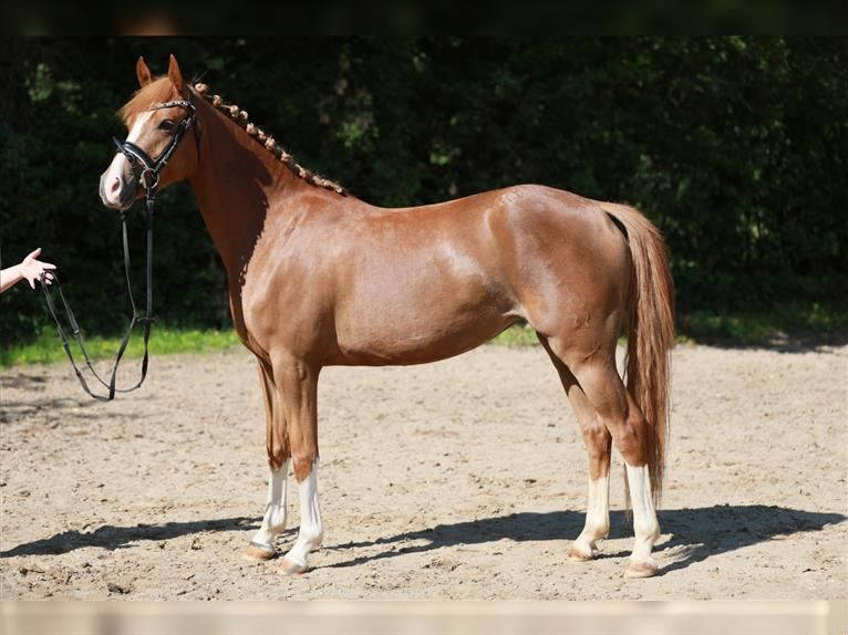 German Riding Pony Mare 3 years 14 hh Chestnut