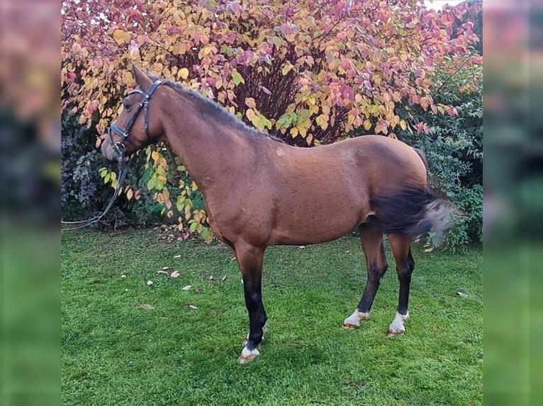 More ponies/small horses Gelding 7 years 14,1 hh Brown