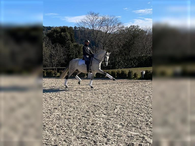 Andalusian Stallion 9 years 16,2 hh Gray