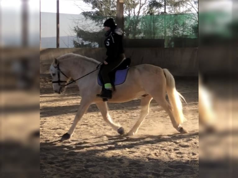 Other Breeds Gelding 12 years 13,3 hh Palomino