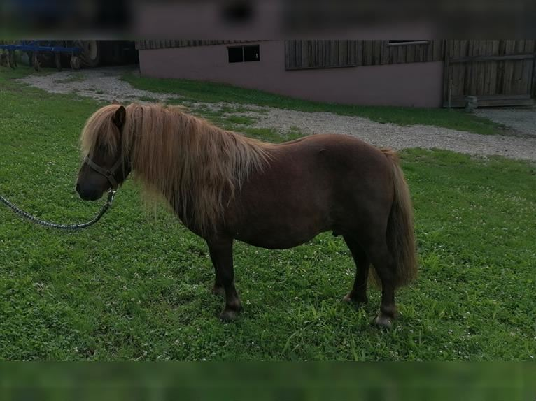 Shetland Ponies Mare 11 years 9,1 hh Chestnut
