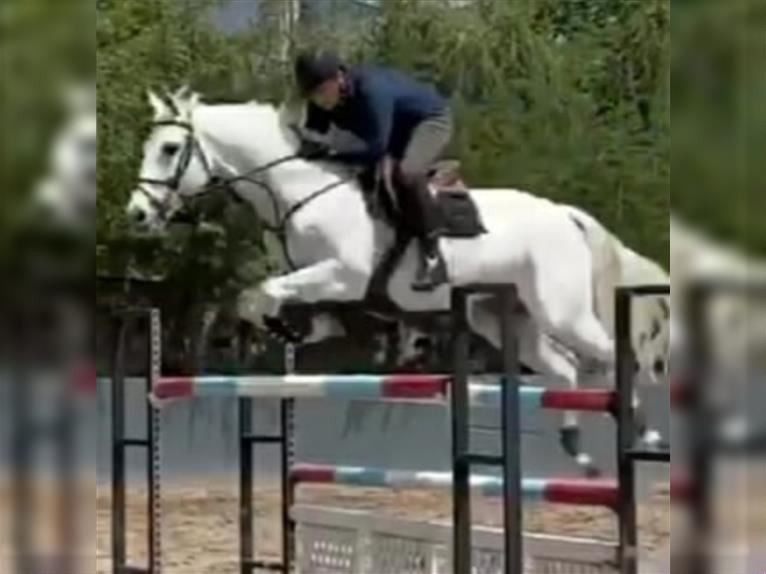 Anglo-Arab Gelding 9 years 16,3 hh Gray