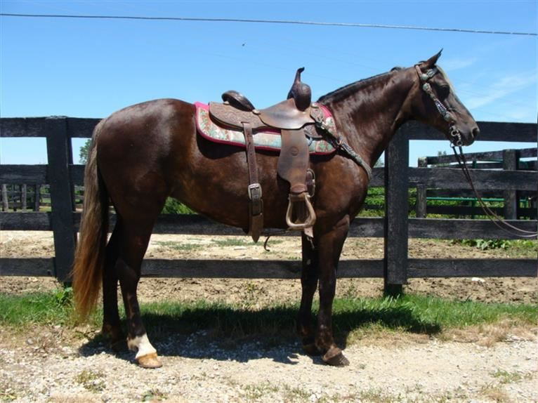 Rocky Mountain Horse Mare 13 years 14,3 hh