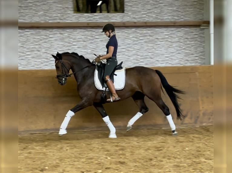 German Riding Horse Mare 5 years 16 hh Brown