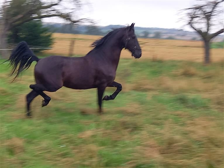 Andalusier Wallach 4 Jahre 158 cm Rappe