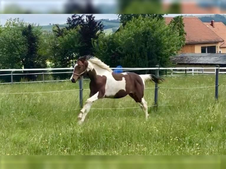 Other Warmbloods Gelding 2 years 16,1 hh Pinto