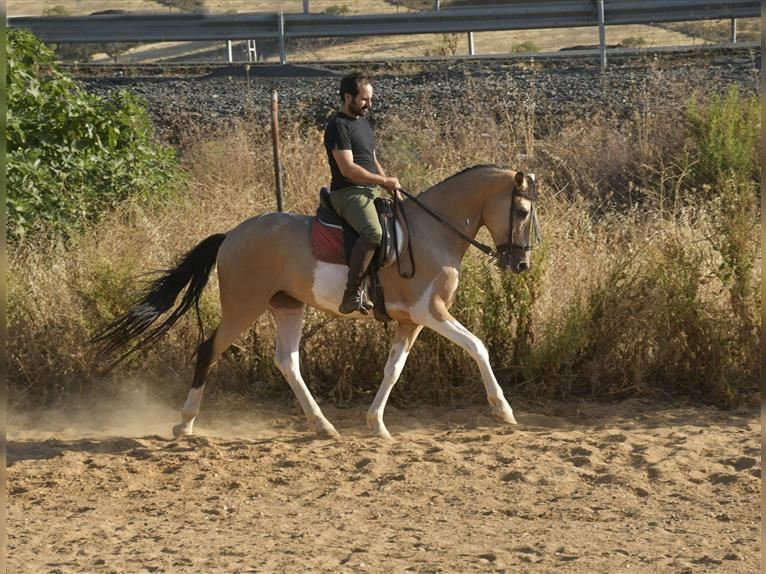 Andalusian Gelding 5 years 15,2 hh Pinto