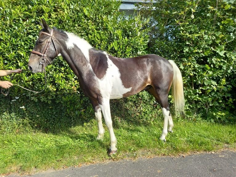 More ponies/small horses Gelding 8 years 15 hh Pinto