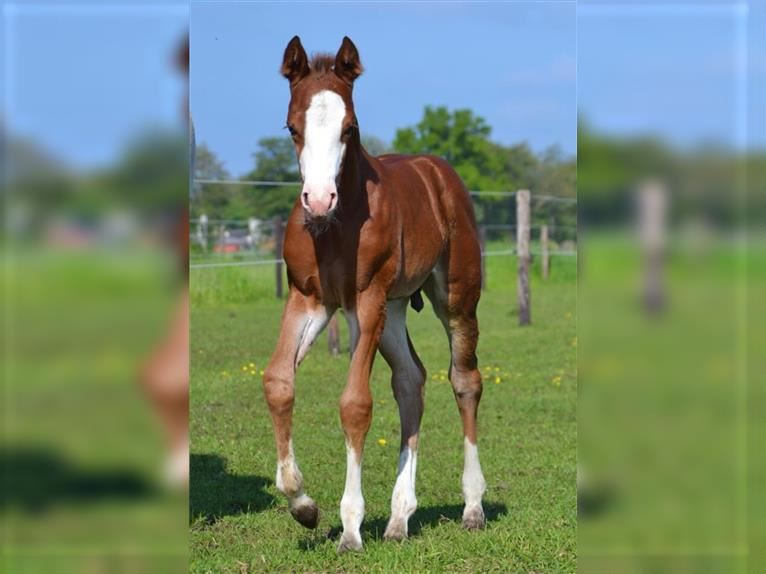 Paint Horse Stallion Foal (05/2021) 15,1 hh Brown
