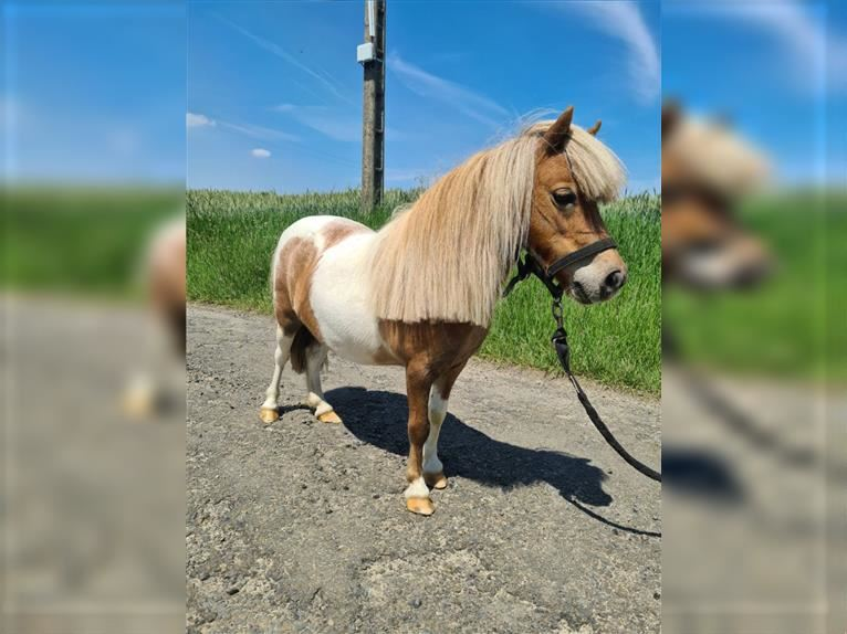 More ponies/small horses Mare 9 years 7,1 hh