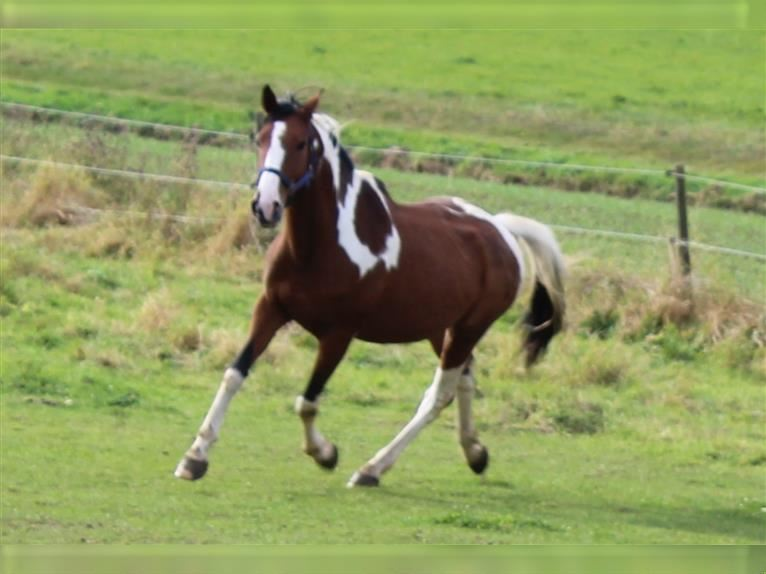 Pintos Mare 11 years 15,1 hh Pinto