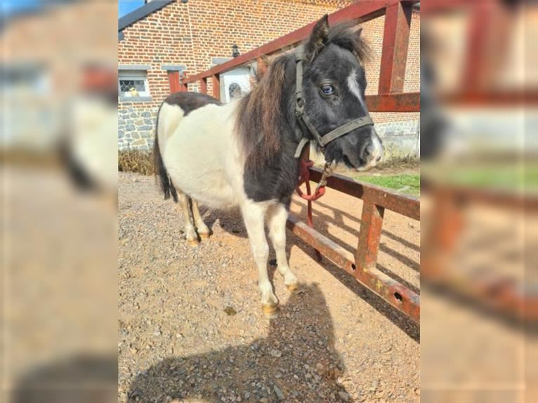 More ponies/small horses Gelding 1 year