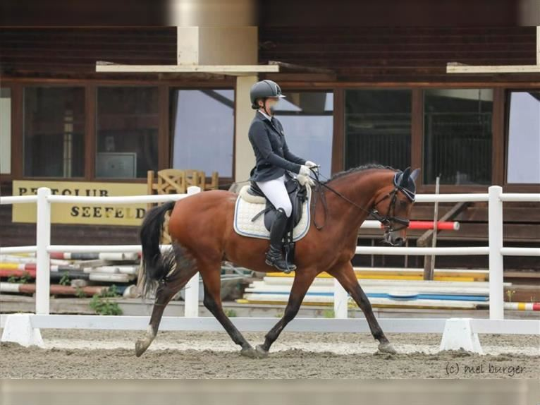 More ponies/small horses Gelding 15 years 14,2 hh Brown
