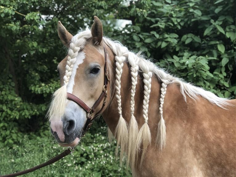 Haflinger Mare 7 years 15,1 hh