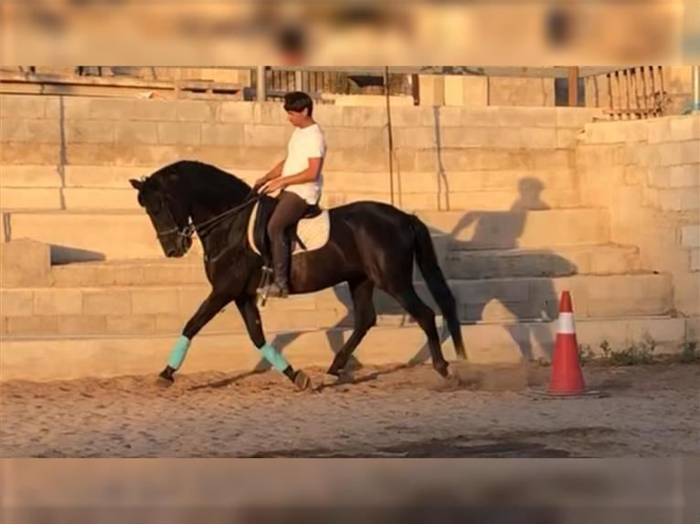 Andalusian Gelding 16 years 15,1 hh Black