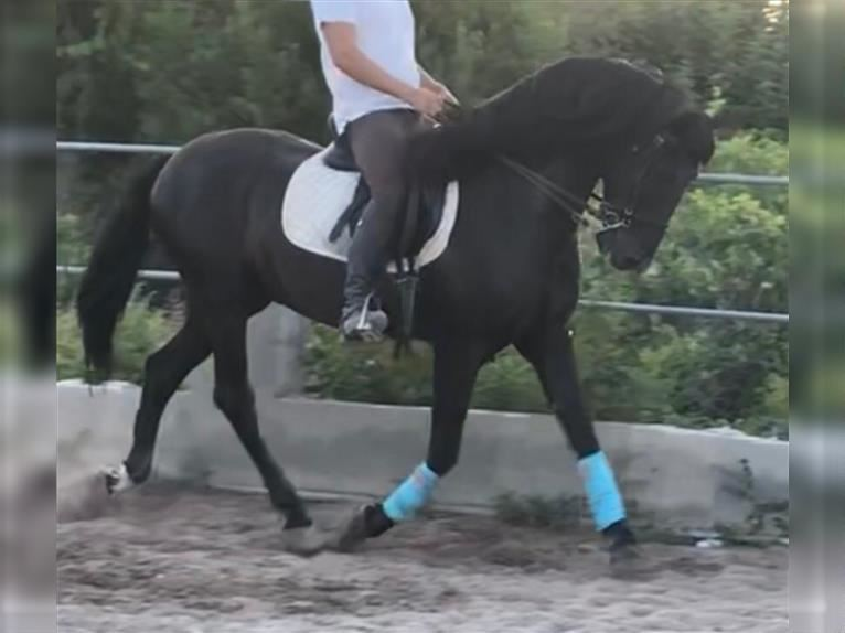 Andalusier Wallach 16 Jahre 157 cm Rappe