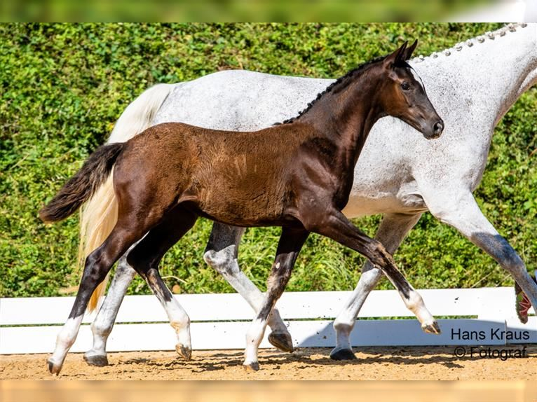 Austrian Warmblood Mare Foal (05/2021) Can be white