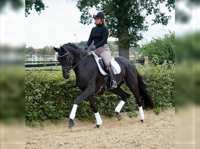 German Riding Horse Mare 4 years 16 hh Black