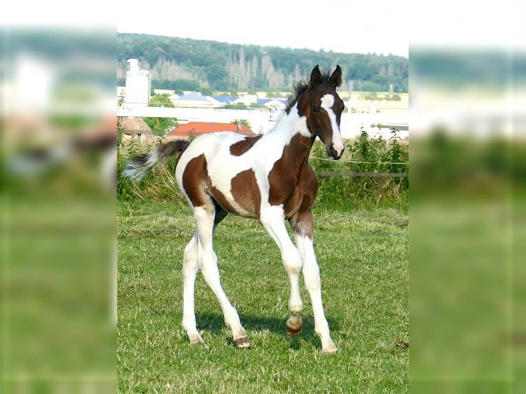 Other Warmbloods Stallion Foal (03/2021) 16,2 hh Pinto