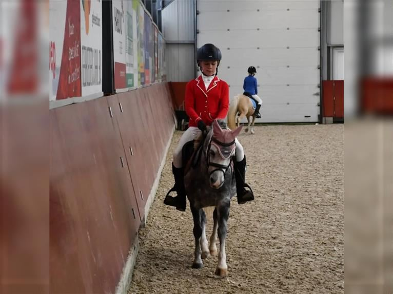Welsh A (Mountain Pony) Mare 6 years 11,1 hh Gray-Blue-Tan