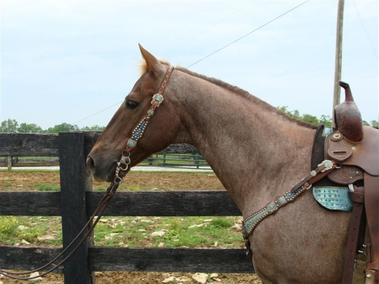 Quarter Horse Gelding 12 years 15 hh Roan-Red
