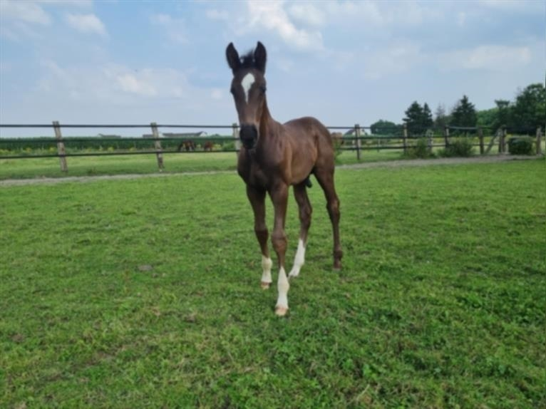 German Riding Horse Stallion Foal (06/2021) 16,2 hh Can be white
