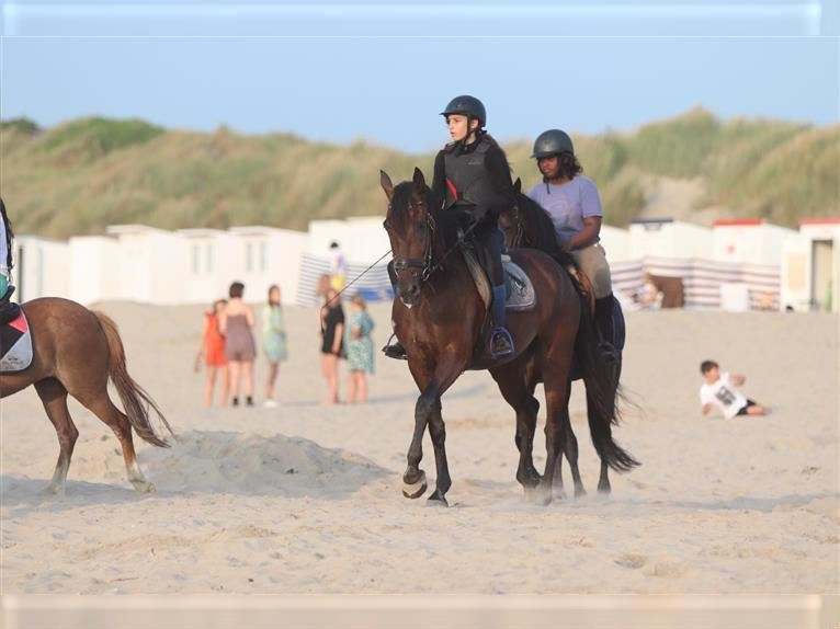 Andalusian Mix Gelding 8 years 15,2 hh Bay-Dark
