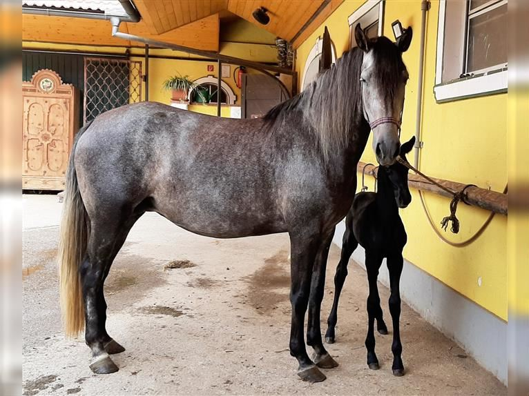 Lusitano Mare 6 years 16 hh Can be white