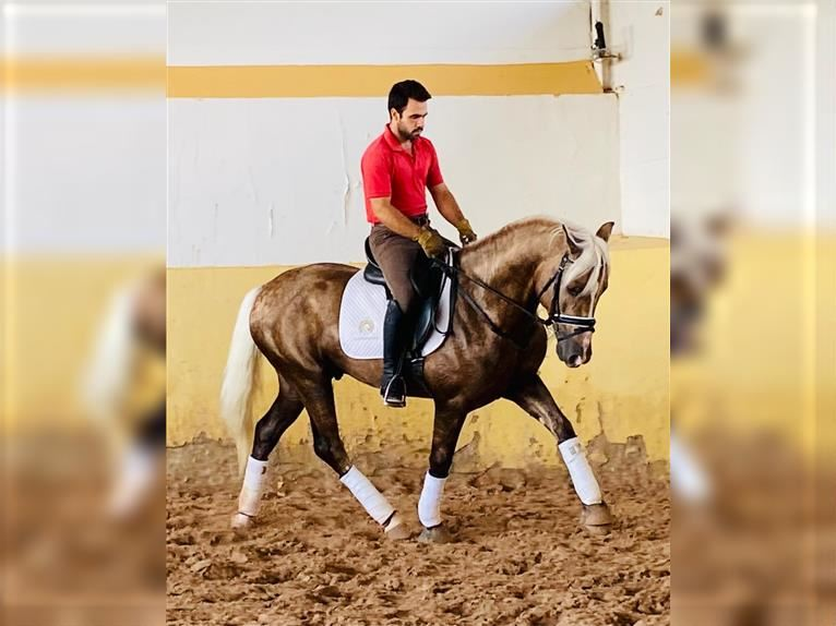 Andalusier Hengst 4 Jahre 157 cm Palomino