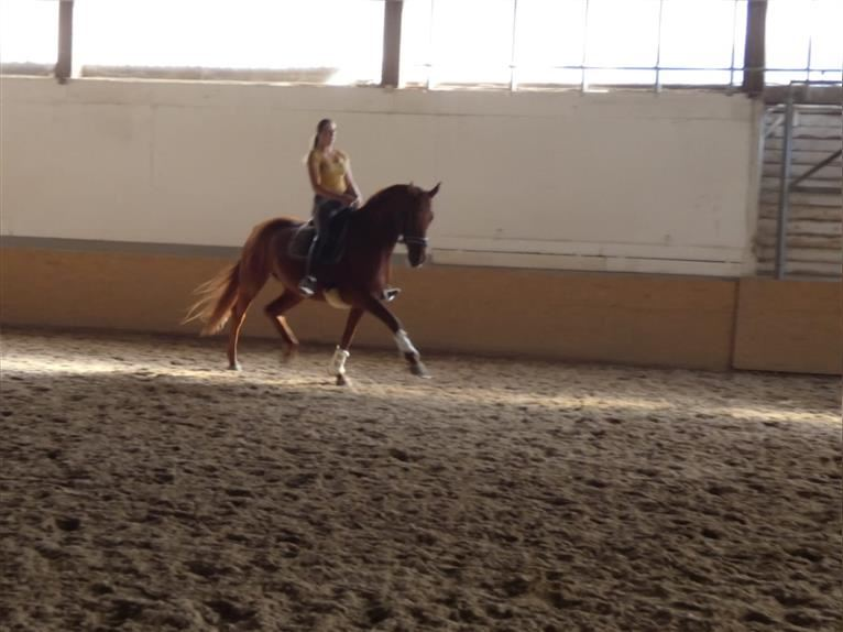 Hanoverian Mare 11 years 16,2 hh Chestnut-Red