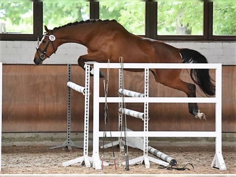 Trakehner Mare 4 years 16,1 hh Brown