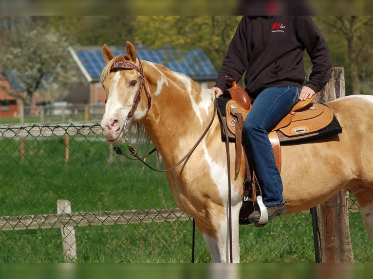 INDIAN BIGSTEP Paint Horse Hengst Champagne