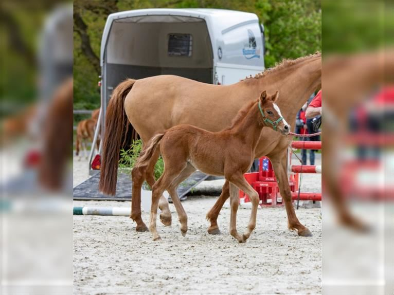 German Riding Pony Mare Foal (04/2021) Chestnut-Red