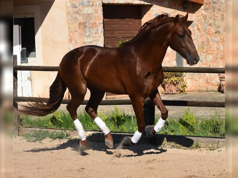 Andalusier Hengst 3 Jahre 162 cm Fuchs