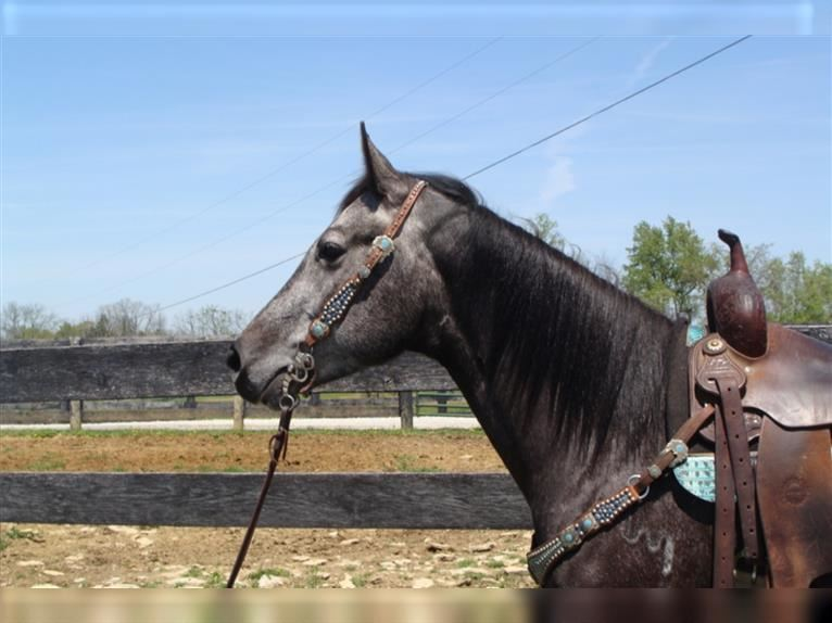 Quarter Horse Mare 4 years 15,1 hh Gray
