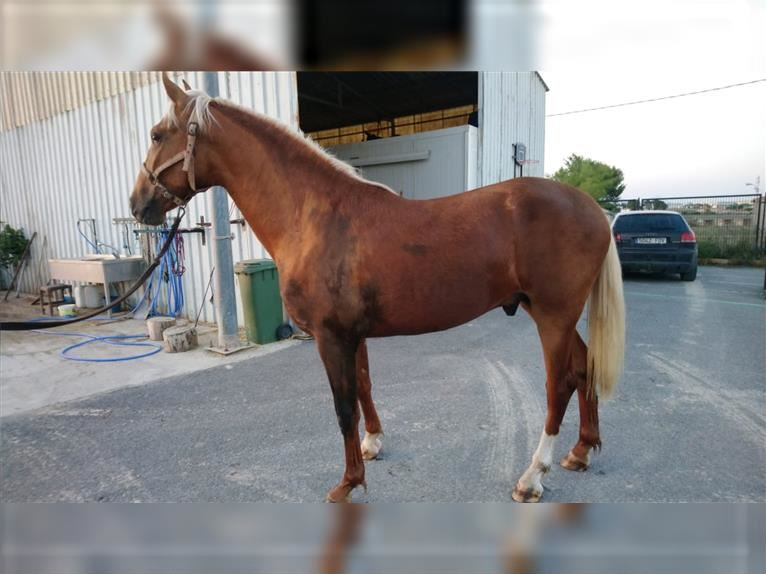 Andalusier Hengst 2 Jahre 162 cm Palomino