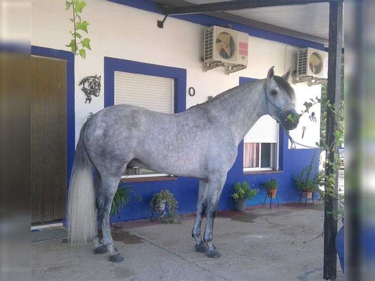 Other Breeds Stallion 6 years 15,2 hh Gray