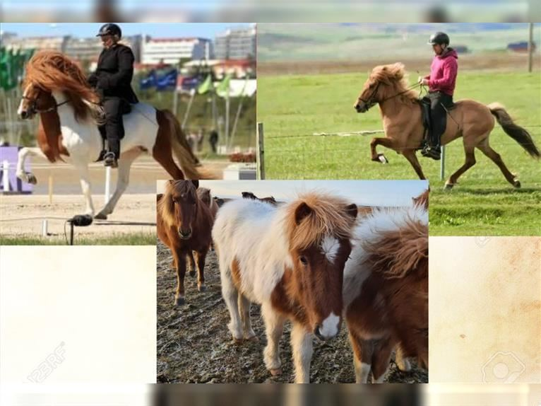 Icelandic Horse Stallion 1 year 13,1 hh Overo-all-colors
