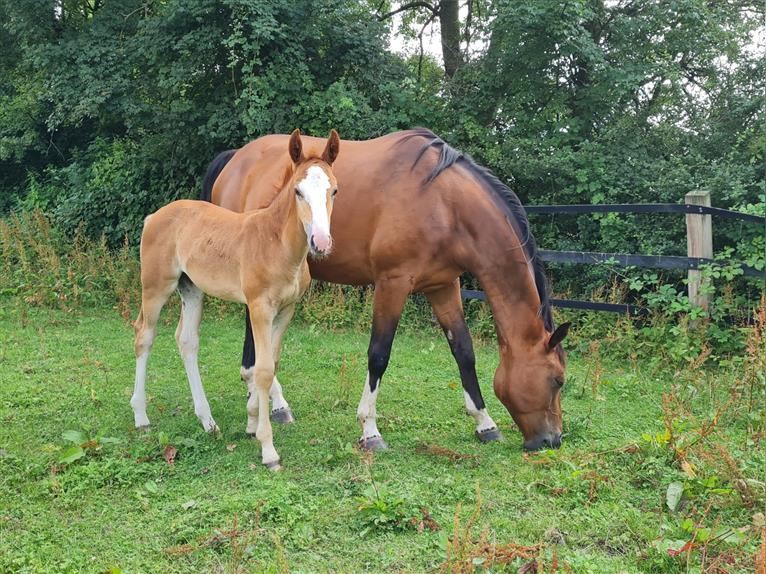 German Riding Horse Mare Foal (05/2021) 16,2 hh Chestnut-Red