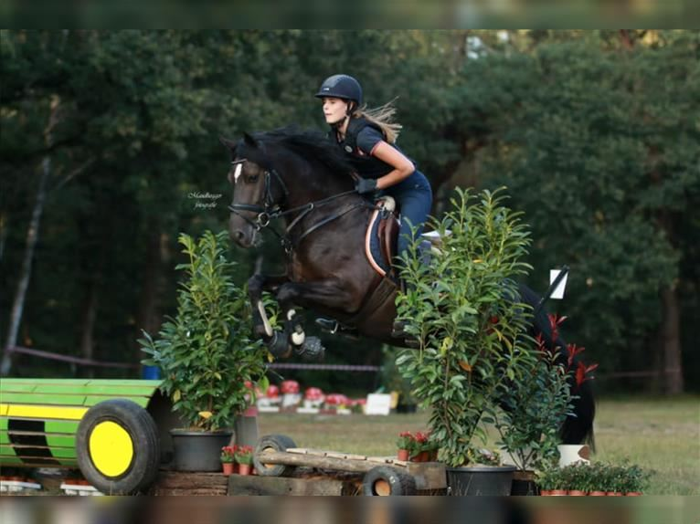 New Forest Pony Wallach 6 Jahre 148 cm Rappe