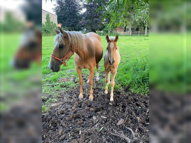 Andalusian Mix Mare 12 years 15,1 hh Palomino