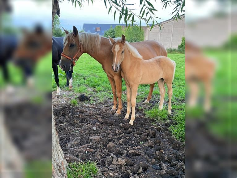 Andalusier Mix Stute 12 Jahre 155 cm Palomino
