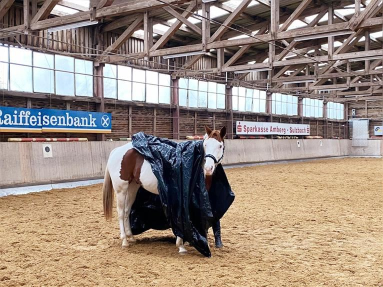 Paint Horse Wallach 7 Jahre 164 cm Tobiano-alle-Farben