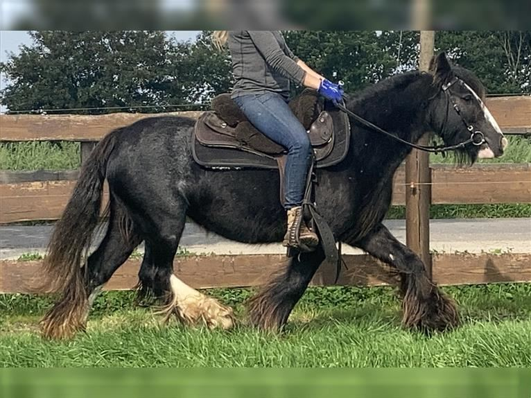 Gypsy Horse Mare 7 years 12,2 hh Black